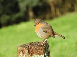 Close up view of a robin standing on top of a wooden log. Bird perched on fence with grass in the ground.