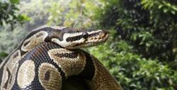 Close-up view of a royal python (Python regius)