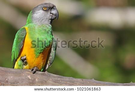 Close-up view of a Senegal Parrot (Poicephalus senegalus) #1021061863