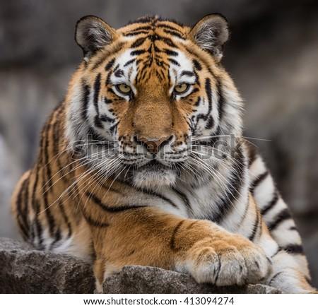 Close up view of a Siberian tiger (Panthera tigris altaica) #413094274