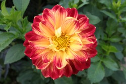Close up view of a stunningly beautiful dahlia red yellow colour, the single multi petal organic flower in full bloom in English country garden in summer sunshine green plant leaves in background