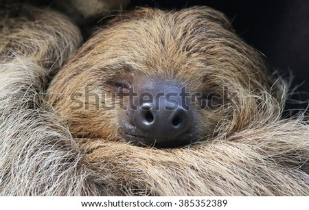 Close-up view of a Two-toed sloth (Choloepus didactylus)