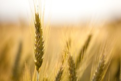 close up view of a wheat field in the country side