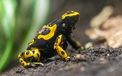 Close-up view of a Yellow-banded poison dart frog (Dendrobates leucomelas)
