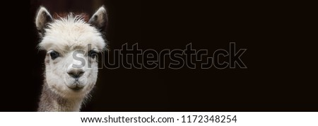 Close up View of a young Alpaca with Copy space in front of black background #1172348254