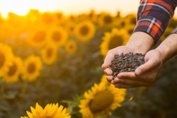 Close up view of a young farmer's hands while he is holding a bunch of sunflower seeds and standing in the middle of a golden sunflower field, during a majestic sunrise.