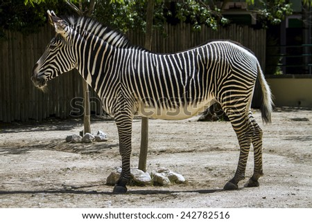 Close up view of a Zebra animal on a zoo.