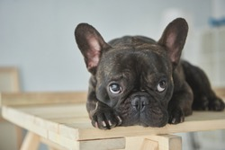 close-up view of adorable black french bulldog lying on wooden table