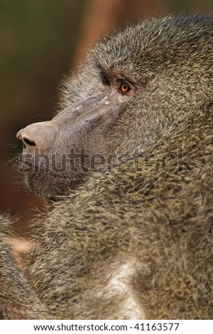 Close up view of adult baboon.