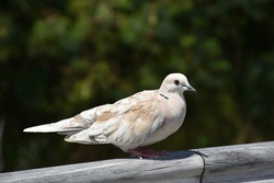 Close-up view of African collared dove (Barbary dove)