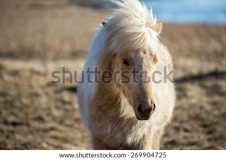 Close up view of an Icelandic pony (horse) grazing in the grass fields on the southern cost of Iceland in the winter.