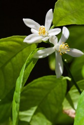 Close up view of an indoor Meyer Lemon Tree flower blossom