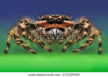 Close- up view of an interesting male Platycryptus undatus jumping spider. - stock photo