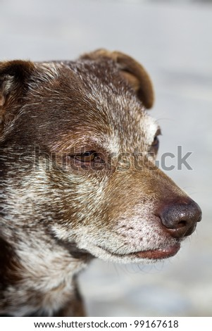 Close up view of an old domestic dog.