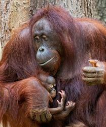 Close-up view of an Orangutan-Mother cares of her child