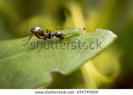 Close up view of ant on leaf of a plant drinking water, blurred green background #694749604