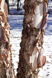 Close up view of attractive torn papery bark on a river birch tree trunk in winter