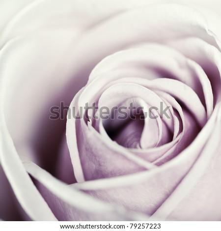 Close-up view of beatiful pink rose - stock photo