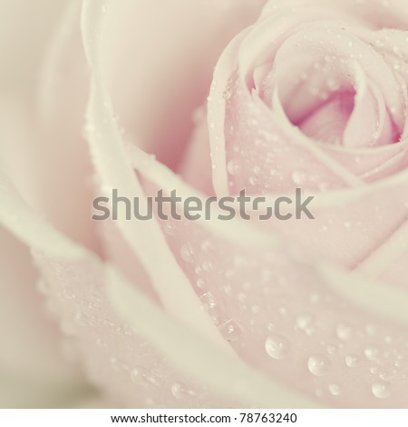 Stock Photo Close-up view of beatiful pink rose with water drops