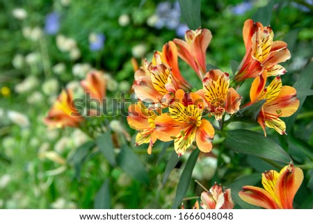Close-up view of beautiful orange and yellow Alstroemeria lily, lily of the Incas (Alstroemeria) with defocused background.  Alstroemeria, commonly called the Peruvian lily or lily of the Incas. Сток-фото ©