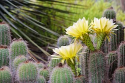 Close up view of big yellow flower of cactus Echinopsis Aurea. Daylight, outdoor, close up. Botanic garden. Big Cactus Flower. Arizona cactus garden. Cover for notebook, book, album.