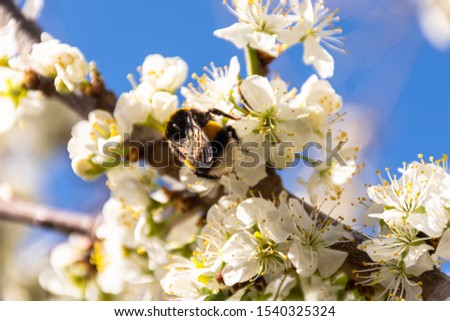 Close-up view of bloomed plum tree being pollinated by a bee #1540325324