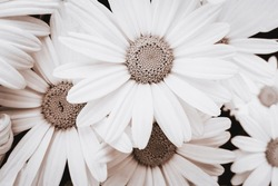 Close-up view of blooming pyrethrum flowers in the garden. Image in monochromatic version and sepia toned
