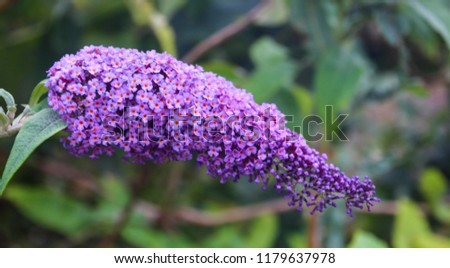Close up view of Buddleia or Buddleja (Buddleia davidii) bloom. Plant is commonly known as the butterfly bush