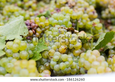 Close up view of bunches of grapes just picked and ready to go to the winery in the Breede Valley in the Western Cape of South Africa