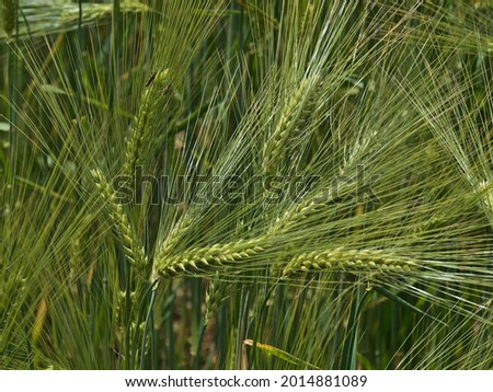 Close-up view of cereal grain field with green shimmering barley plants (hordeum vulgare) in summer time in Swabian Alb, Germany. Focus on ear in the left. Imagine de stoc ©