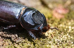 close up view of Coconut Rhinoceros Beetle  .