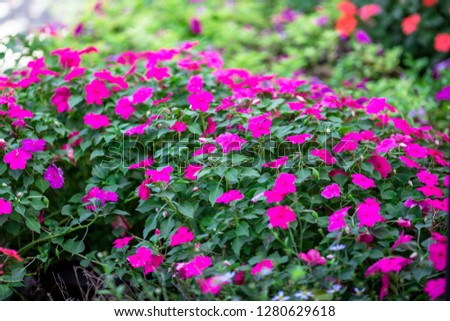 Close-up view of colorful flowers Cultivated in plots for expansion or used to decorate, decorate or decorate the coffee shop, restaurant for beauty