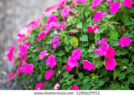 Close-up view of colorful flowers Cultivated in plots for expansion or used to decorate, decorate or decorate the coffee shop, restaurant for beauty #1280629951