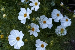 close-up view of cosmos flower, cosmeya in the garden in summer. High quality photo