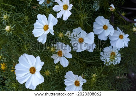 Photo of close-up view of cosmos flower, cosmeya in the garden in summer. High quality photo