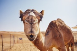 Close-up view of curious camel against sand dunes of desert, Sultanate of Oman.