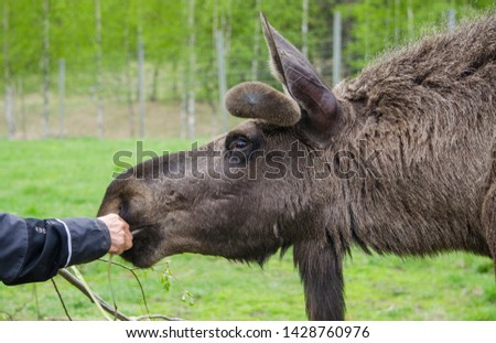 Close up view of cute wild Moose elk with growing horn in an elk farm during the elk farm visit in northern Europe in a sunny day with background