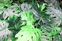 Close up view of emerald fun green plants. Deep green plant. Scandinavian style decor Plant Green leaf. Fiddle Leaf fig tree. evergreen shrub with green and yellow elliptical or elliptical ovoid