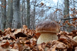 Close up view of excellent edible  Boletus mushroom among fallen leaves in late autumn beech forest
