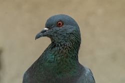 Close up view of Feral Pigeon
