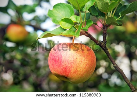 Close-up view of fresh red apple hanging on branch