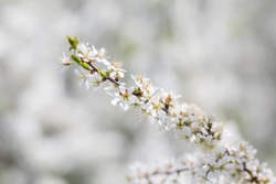 Close-up view of fresh white wild thorn flowers.  A branch covered with many flowers.  Prúnus spinósa. Wild bush.  Zoom photo.  Bokeh effect.