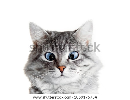 Close up view of funny smiling Gray tabby cute kitten with blue eyes. Pets and lifestyle concept. Lovely fluffy cat on isolated background. #1059175754
