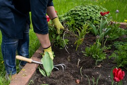 Close up view of gardener removes weeds from garden with hoe rake, loosens bed of seedlings. Planting, growing vegetable and herbs. Take care of garden. Agriculture, farming, gardening concept