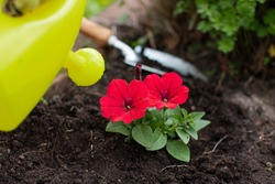 Close up view of gardener watering blooming petunias in outdoor flower bed, woman farmer working in garden, growing flowers. Take care of garden. Agriculture, farming, gardening concept