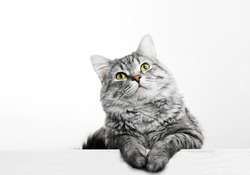 Close up view of Gray tabby cute kitten. Pets and lifestyle concept. Lovely fluffy cat on grey background.
