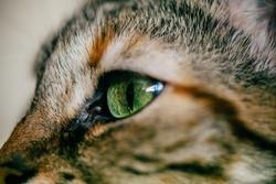Close up view of green cat eye. Beautiful cat portrait.