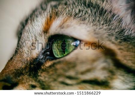Close up view of green cat eye. Beautiful cat portrait.  #1511866229