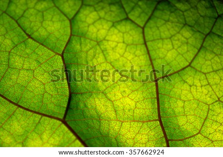 Close up view of green leaf and veins #357662924