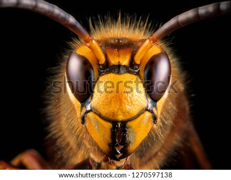 Close-up view of head of live European hornet (Vespa crabro)--the largest eusocial wasp native to Europe (4 cm) and the only true hornet found in North America, introduced there in the 1800s.